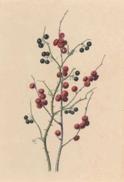 Watercolor by Edwin Whitefield: Berries, represented by Childs Gallery
