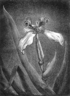 Print by Leo Meissner: Mexican Iris, represented by Childs Gallery