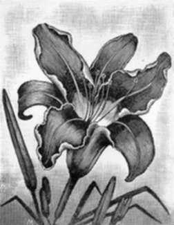 Print by Leo Meissner: Tiger Lily, represented by Childs Gallery